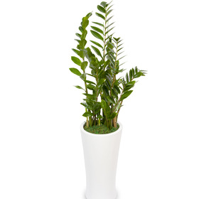 돈나무(금전수)사기화분60